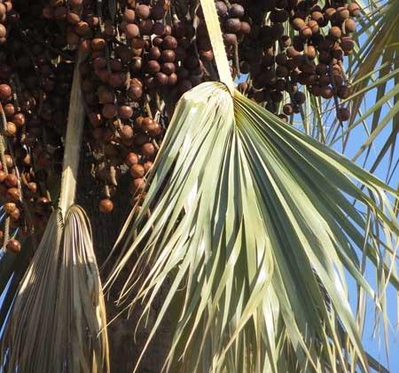 desert secrets makalani palm tree seed oil