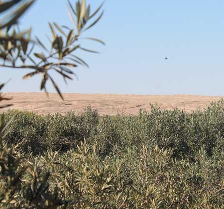 desert secrets olive oil