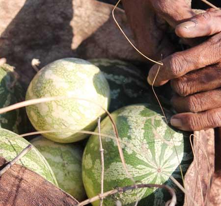 desert secrets tsamma melon seed oli